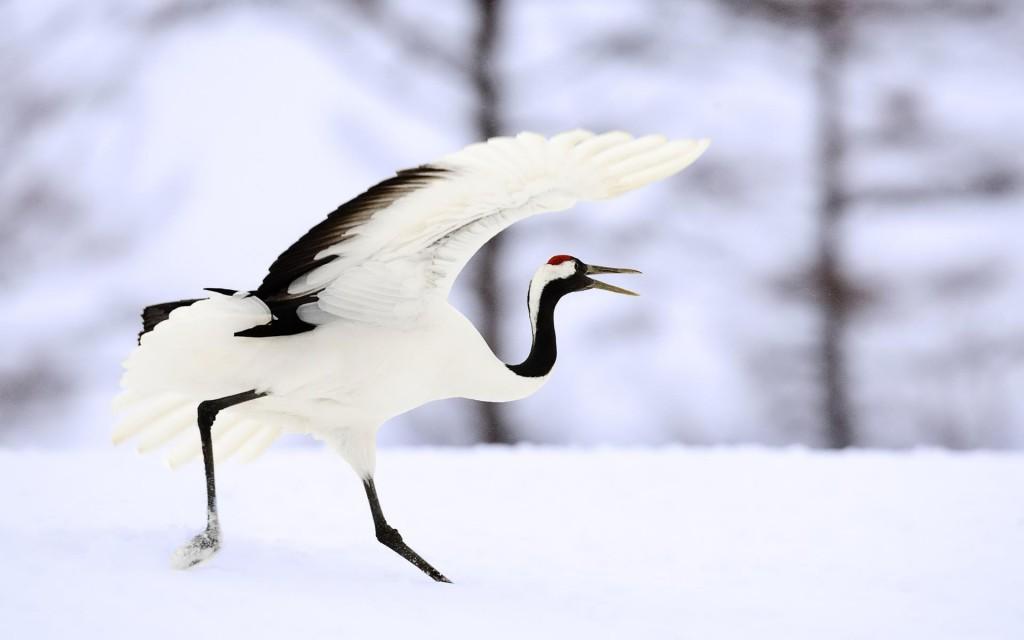 crane bird wallpapers