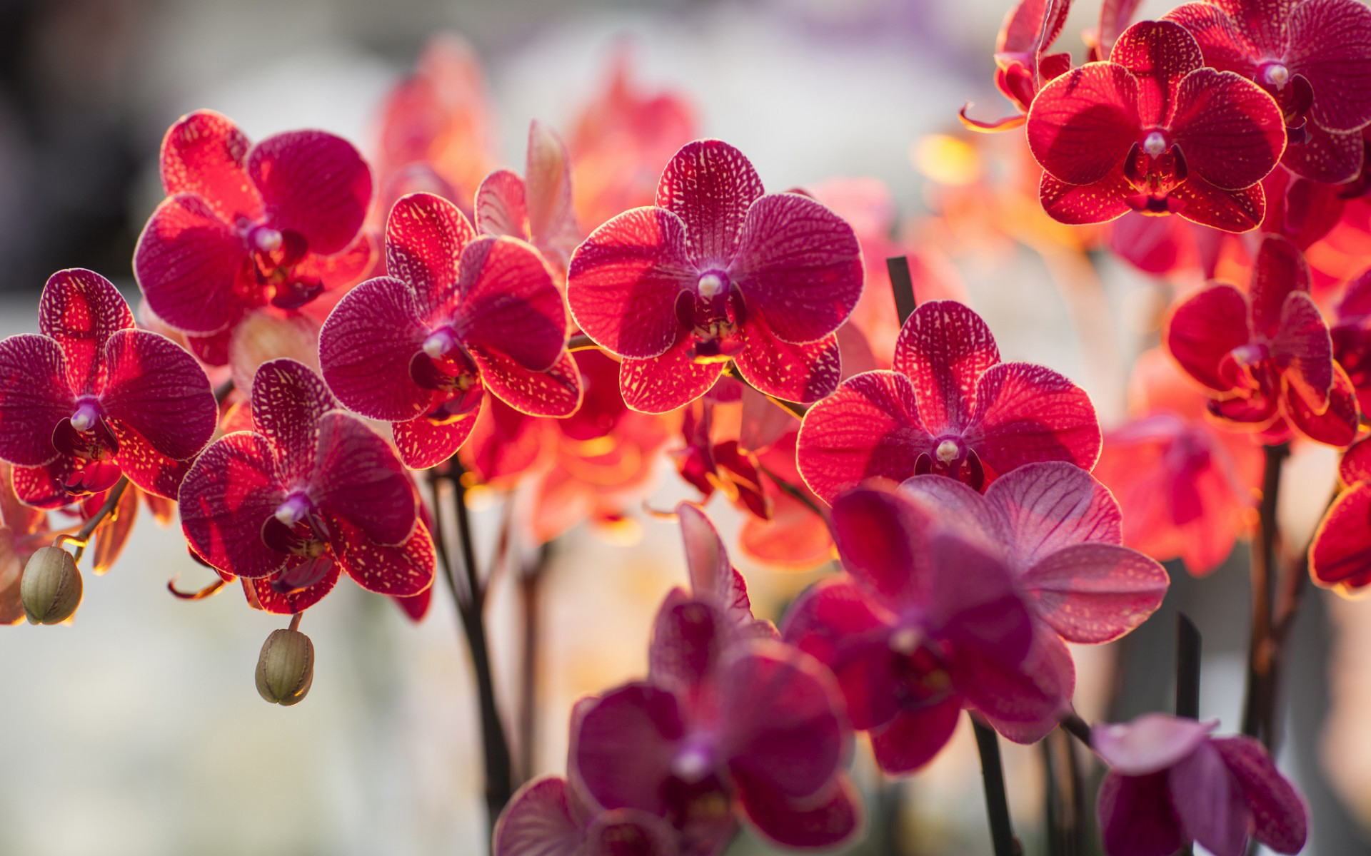 21 Gorgeous HD Orchid Flowers Wallpapers