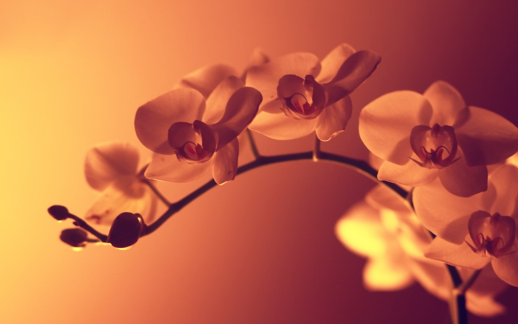 orchid-wallpaper-24552-25222-hd-wallpapers