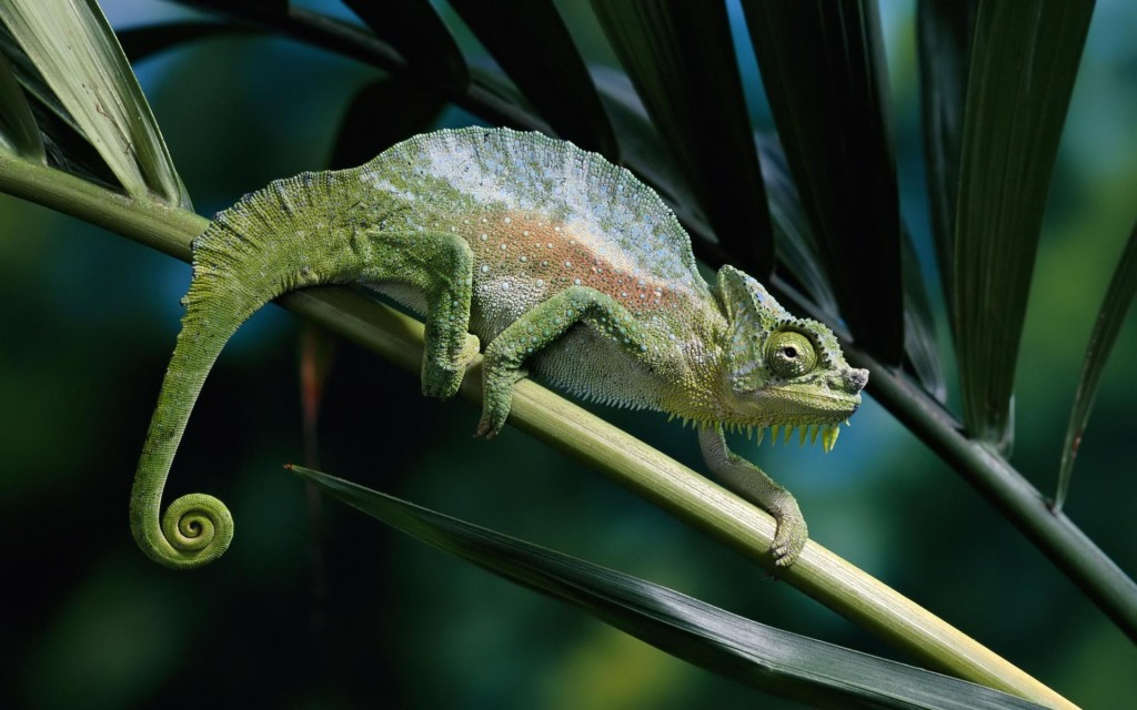panther-chameleon-wallpaper-46715-48155-hd-wallpapers