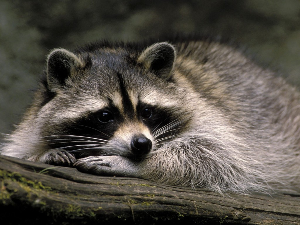 raccoon-animal-computer-wallpaper-49322-50988-hd-wallpapers