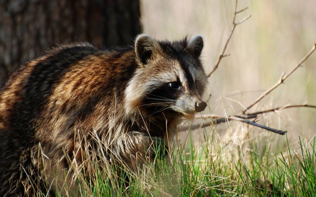 raccoon-animal-wallpaper-49324-50990-hd-wallpapers