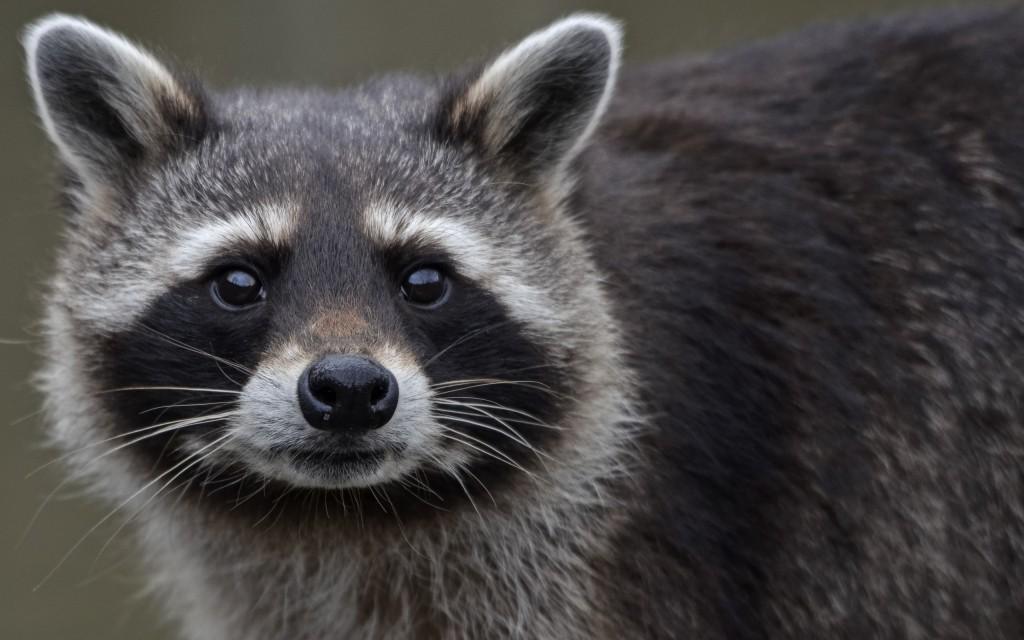 raccoon-close-up-wallpaper-43650-44718-hd-wallpapers