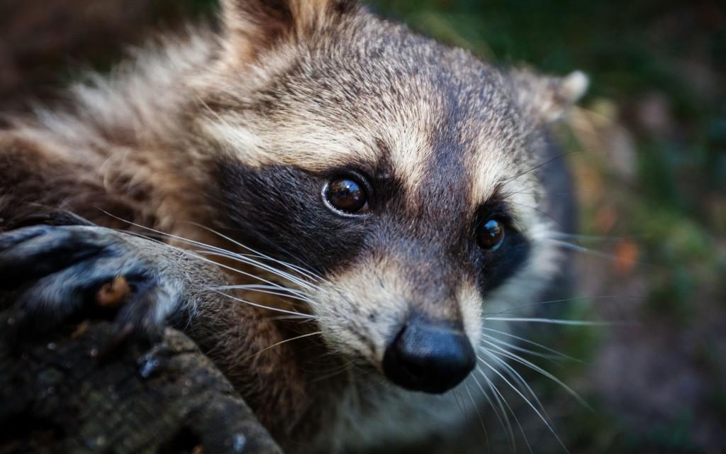 raccoon-desktop-wallpaper-hd-49323-50989-hd-wallpapers