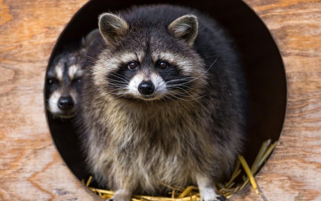 raccoon-wallpaper-43647-44713-hd-wallpapers