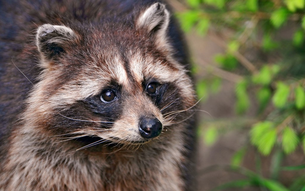 raccoon-wallpaper-hd-43652-44719-hd-wallpapers