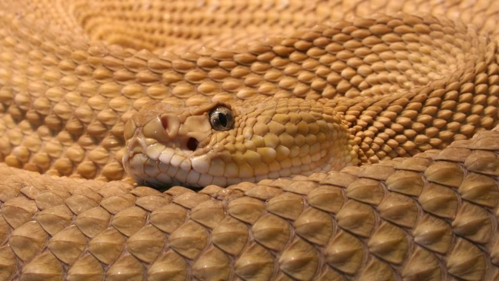 rattlesnake-29844-30563-hd-wallpapers