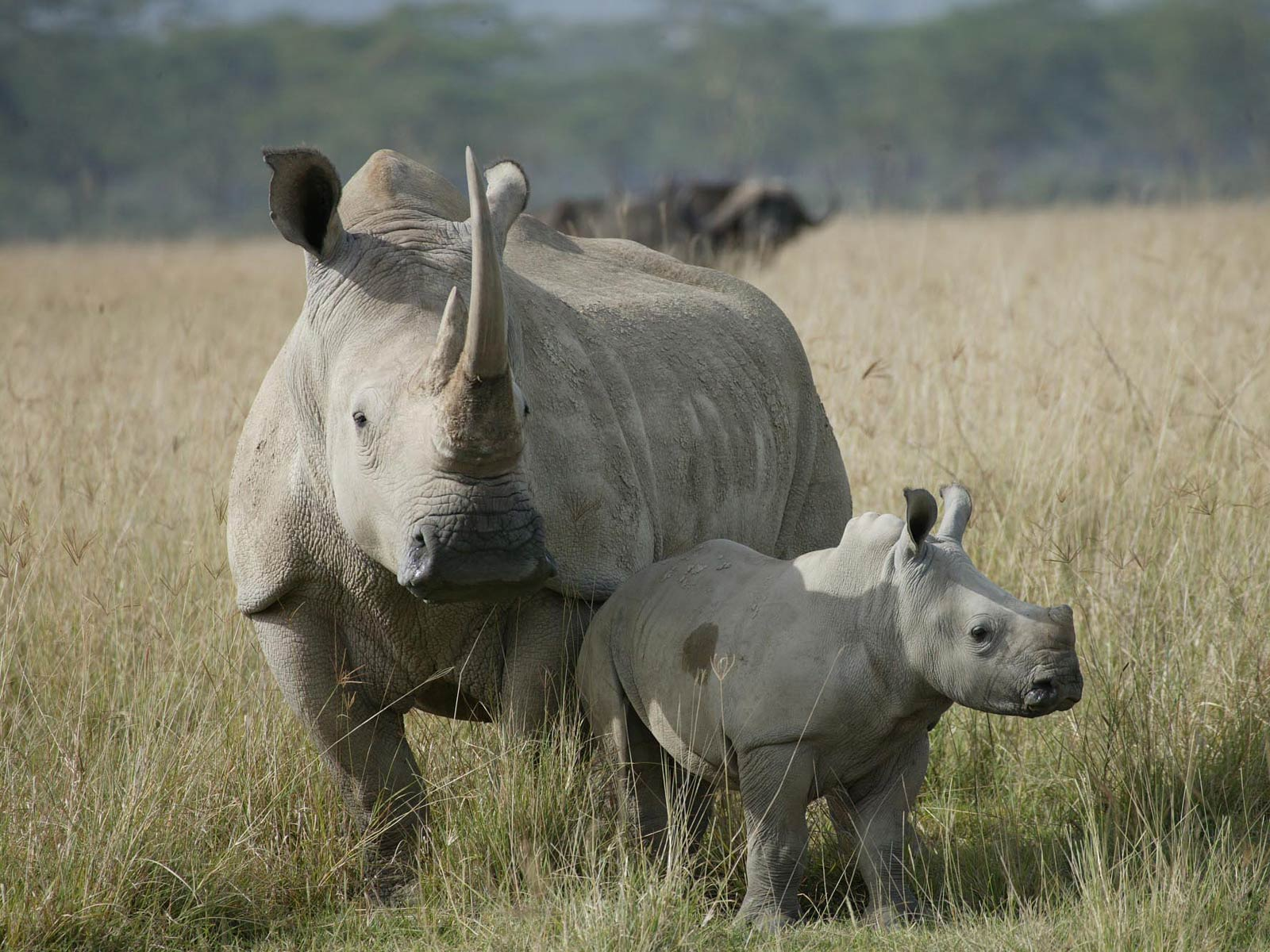 14 fantastic hd rhinoceros wallpapers - hdwallsource