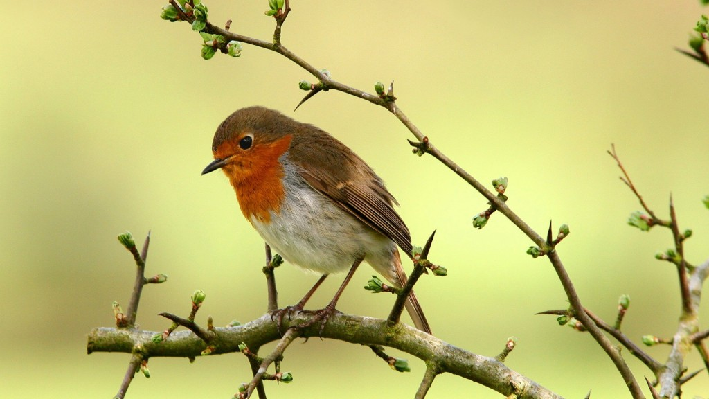 robin bird wallpapers
