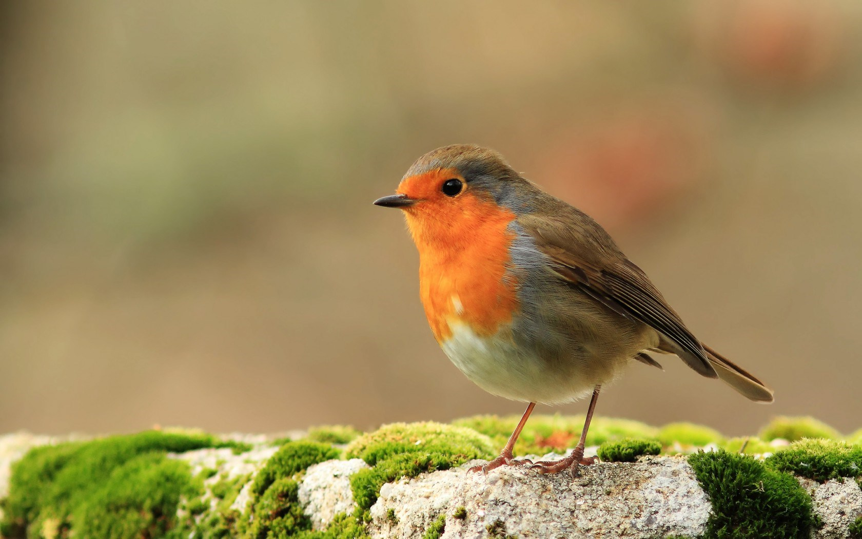 3 HD Robin Bird Wallpapers
