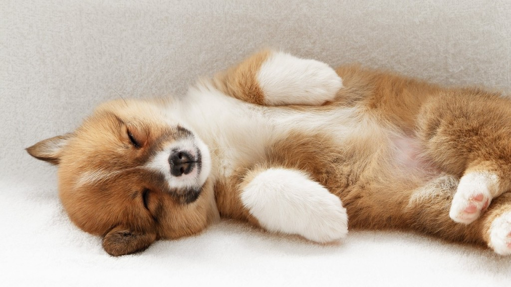 sleeping-corgi-dog-wallpaper-49393-51062-hd-wallpapers