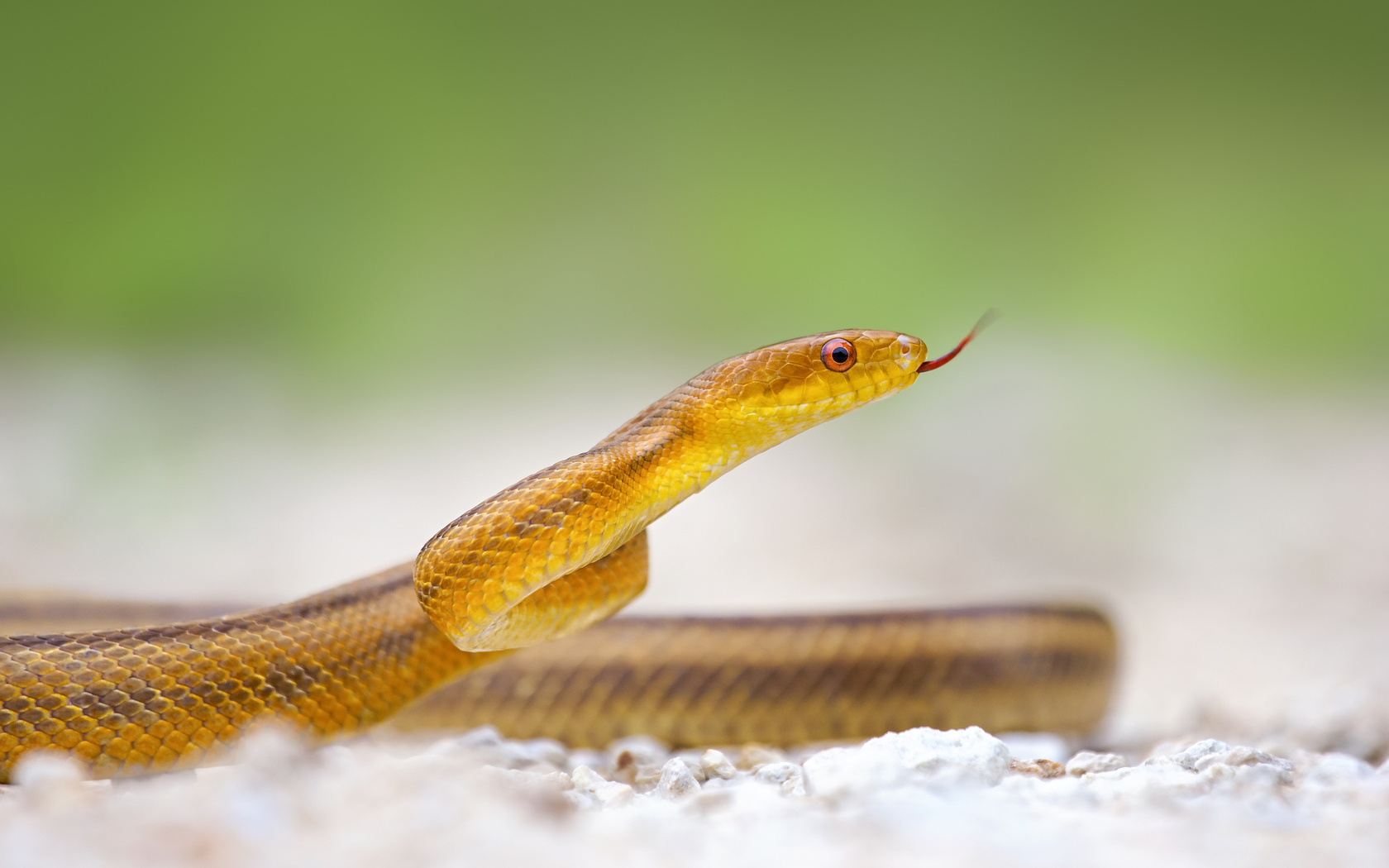 <b>Snake HD Wallpapers</b> For Pc 7353 - Amazing Wallpaperz
