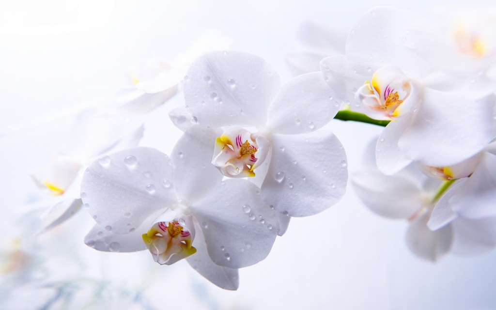 stunning-orchid-wallpaper-24560-25230-hd-wallpapers