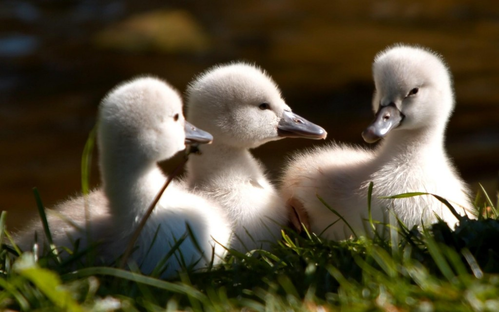 swan-cygnet-wallpaper-hd-49258-50922-hd-wallpapers