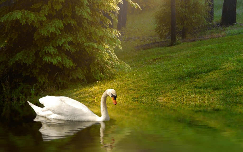 swan-desktop-wallpaper-49255-50919-hd-wallpapers