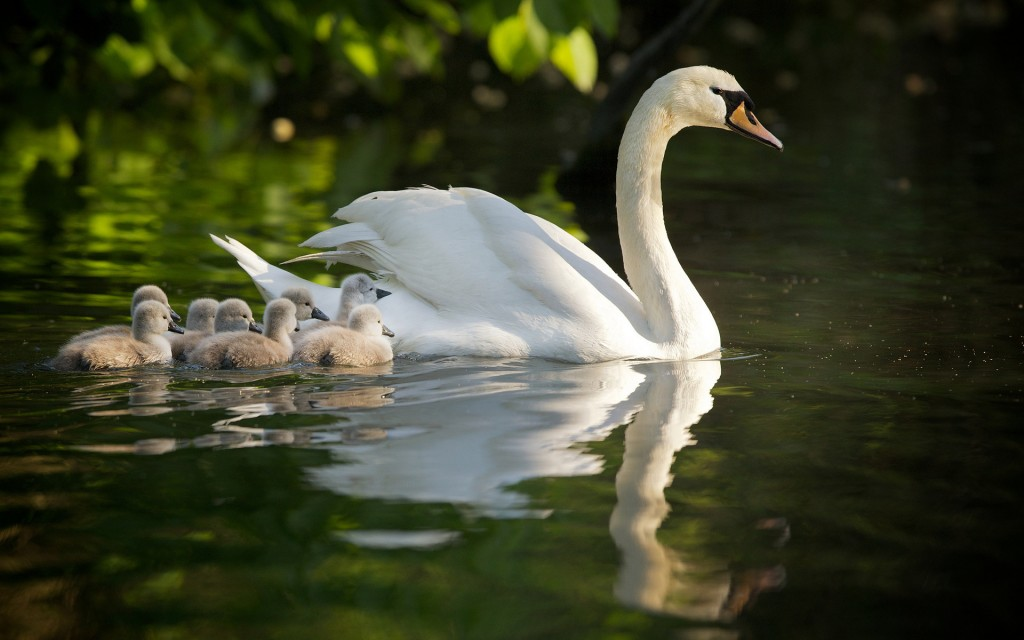 swan-family-desktop-wallpaper-49257-50921-hd-wallpapers