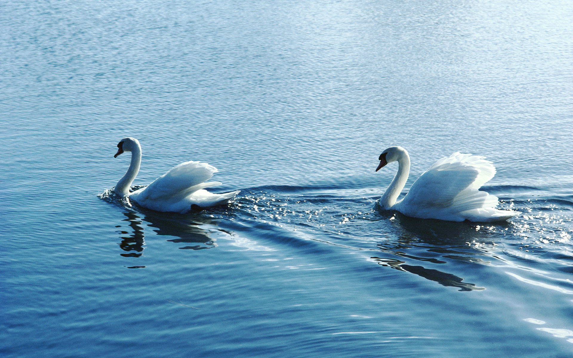 20 wonderful hd swan bird wallpapers - Swan wallpapers for desktop ...
