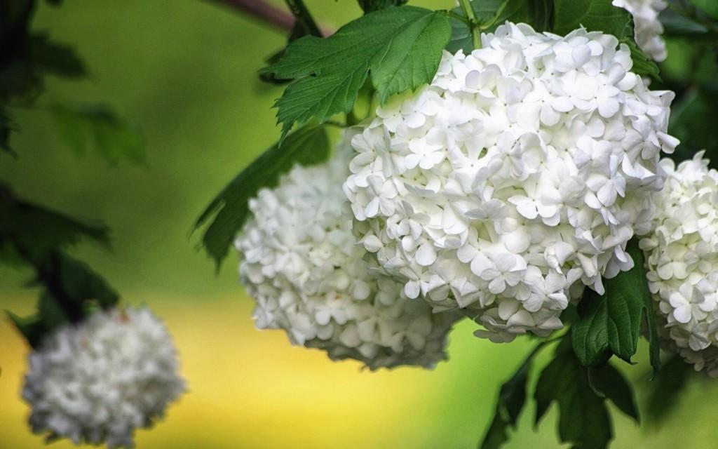white-hydrangea-flowers-wallpaper-49012-50662-hd-wallpapers