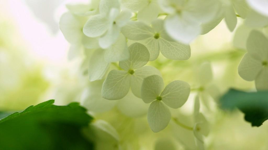 white-hydrangea-wallpaper-25719-26401-hd-wallpapers