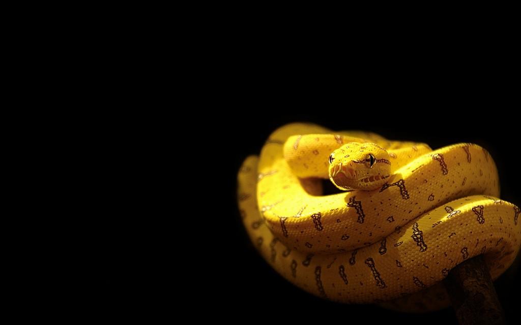 yellow-snake-wallpaper-29868-30587-hd-wallpapers