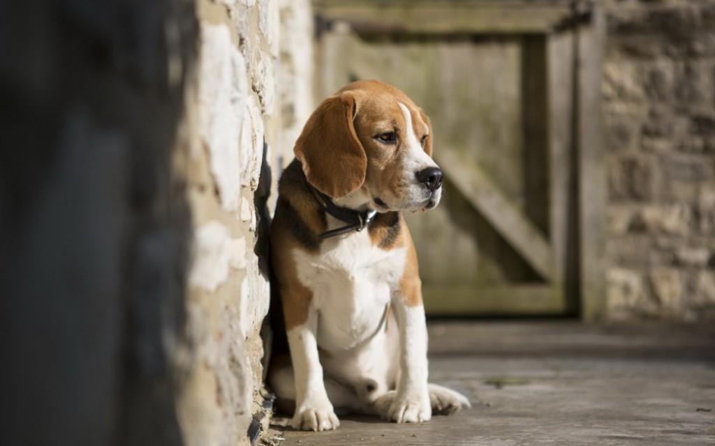 adorable-beagles-21803-22346-hd-wallpapers