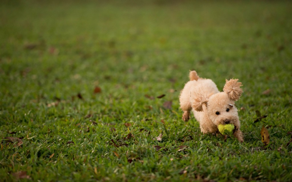 adorable-poodle-wallpaper-23872-24528-hd-wallpapers