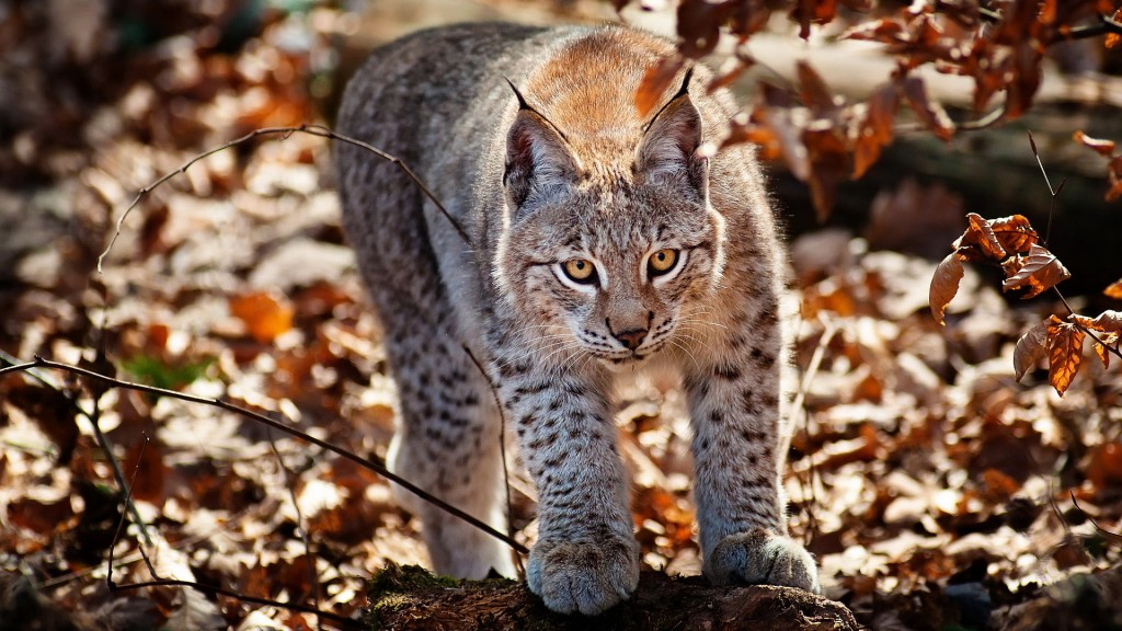 awesome-lynx-wallpaper-38489-39367-hd-wallpapers