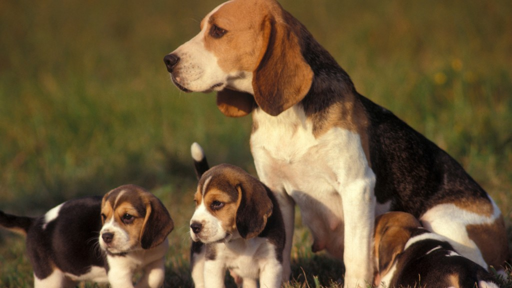 Beagle female with puppies.