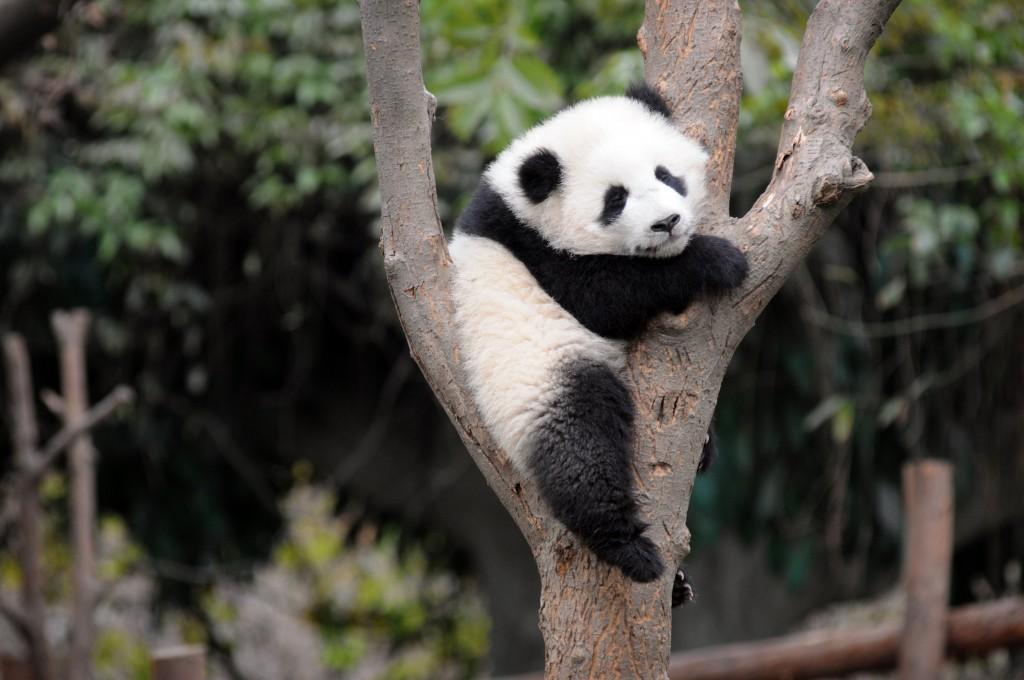 baby panda widescreen wallpapers