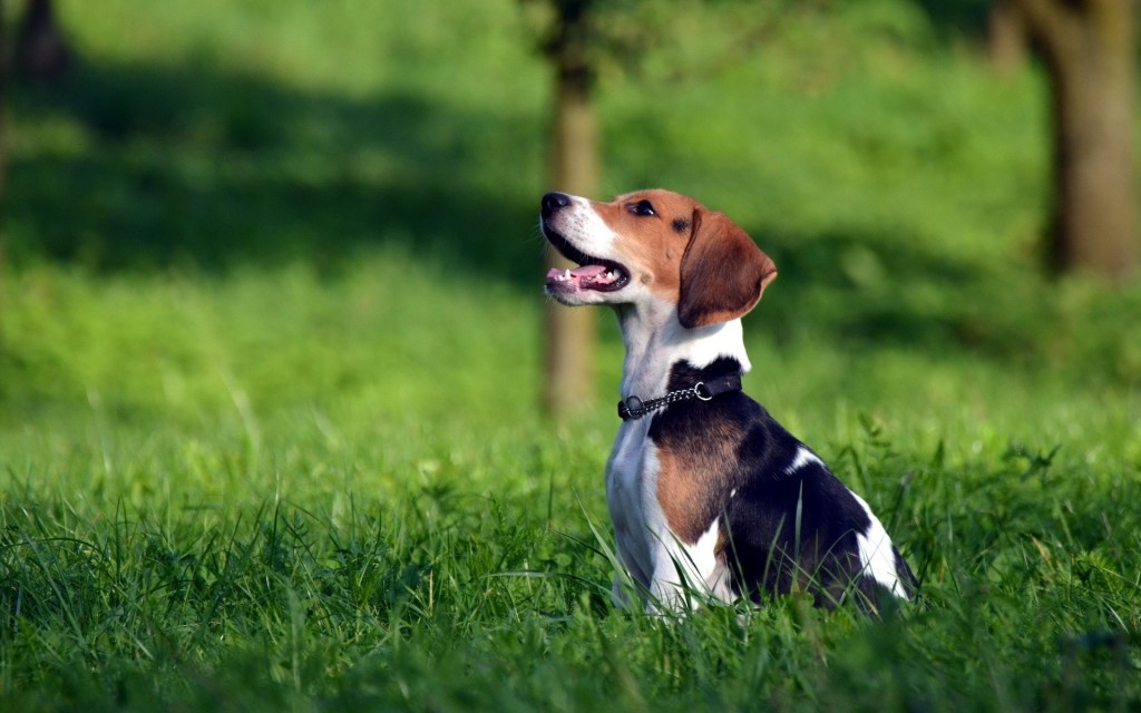 beagle-dog-desktop-wallpaper-50048-51735-hd-wallpapers