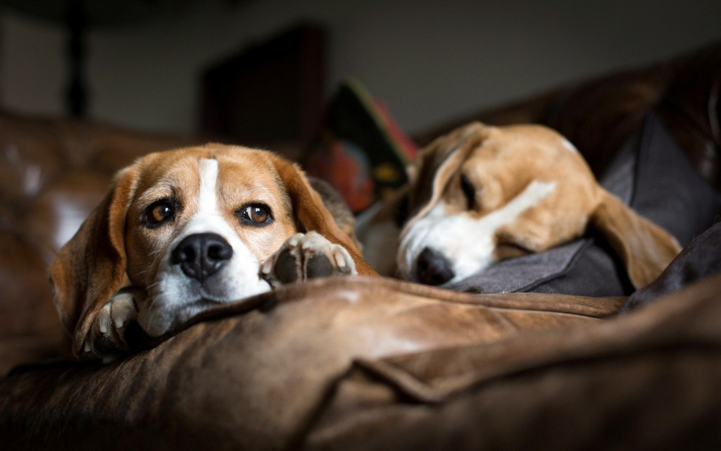 beagle-dog-wallpaper-pictures-hd-50049-51736-hd-wallpapers