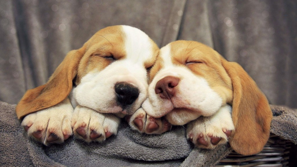beagle-dogs-sleeping-wide-wallpaper-50052-51739-hd-wallpapers