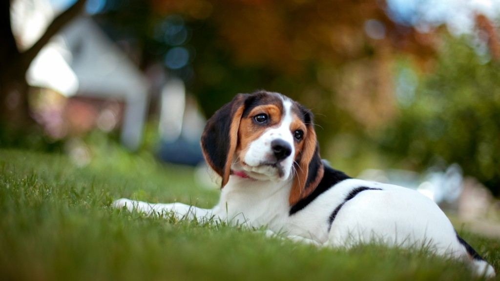 beagle-wallpaper-4232-4277-hd-wallpapers