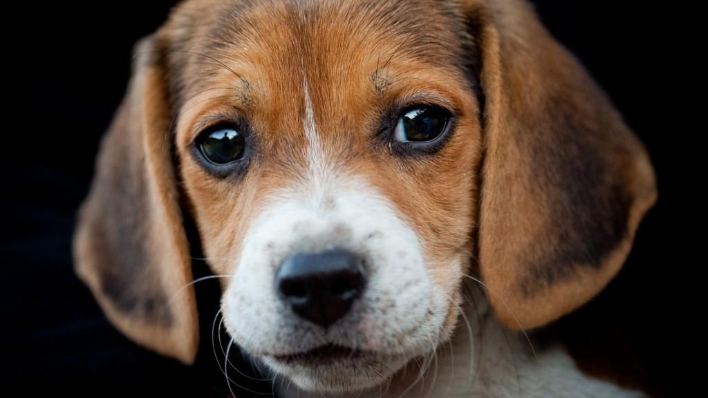 beagle-wallpaper-4234-4279-hd-wallpapers