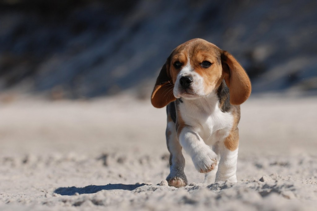 beagles-21800-22343-hd-wallpapers
