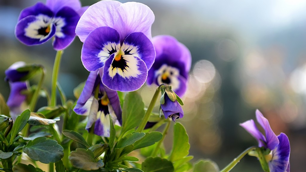 beautiful-pansies-wallpaper-31059-31791-hd-wallpapers