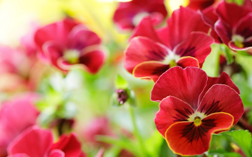 beautiful-red-pansy-flowers-wallpaper-43227-44259-hd-wallpapers