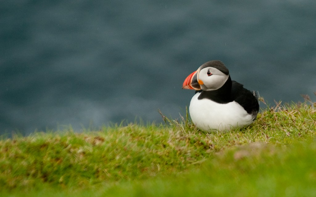 cute-puffin-24808-25480-hd-wallpapers