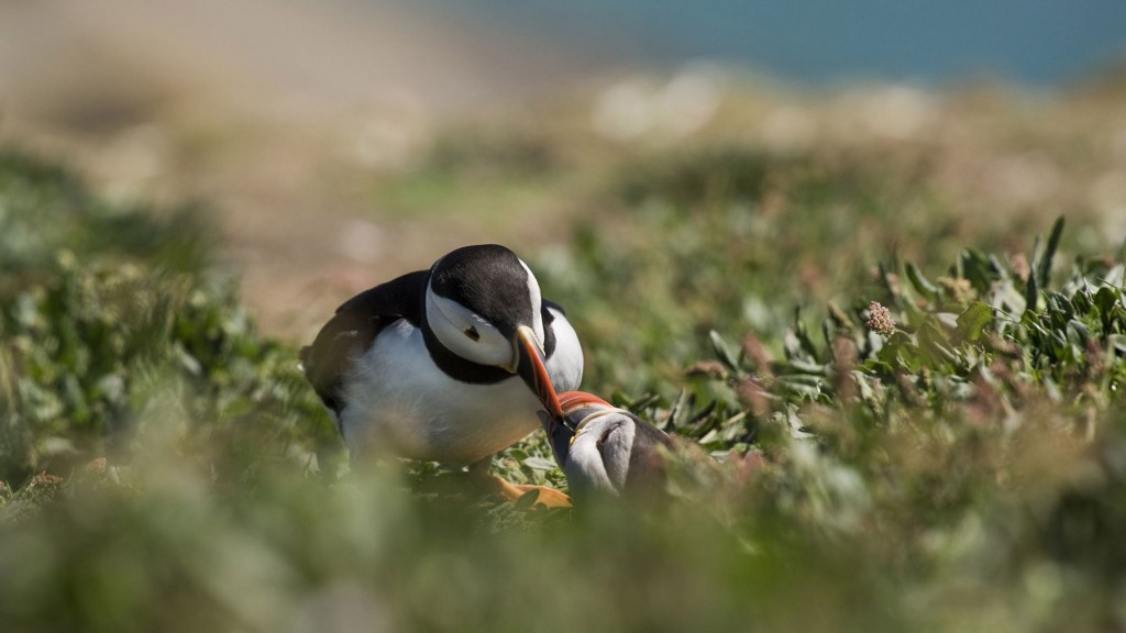 cute-puffin-birds-wallpaper-50116-51803-hd-wallpapers