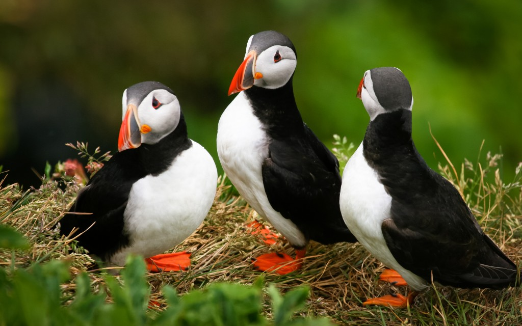 cute-puffin-wallpaper-24805-25477-hd-wallpapers