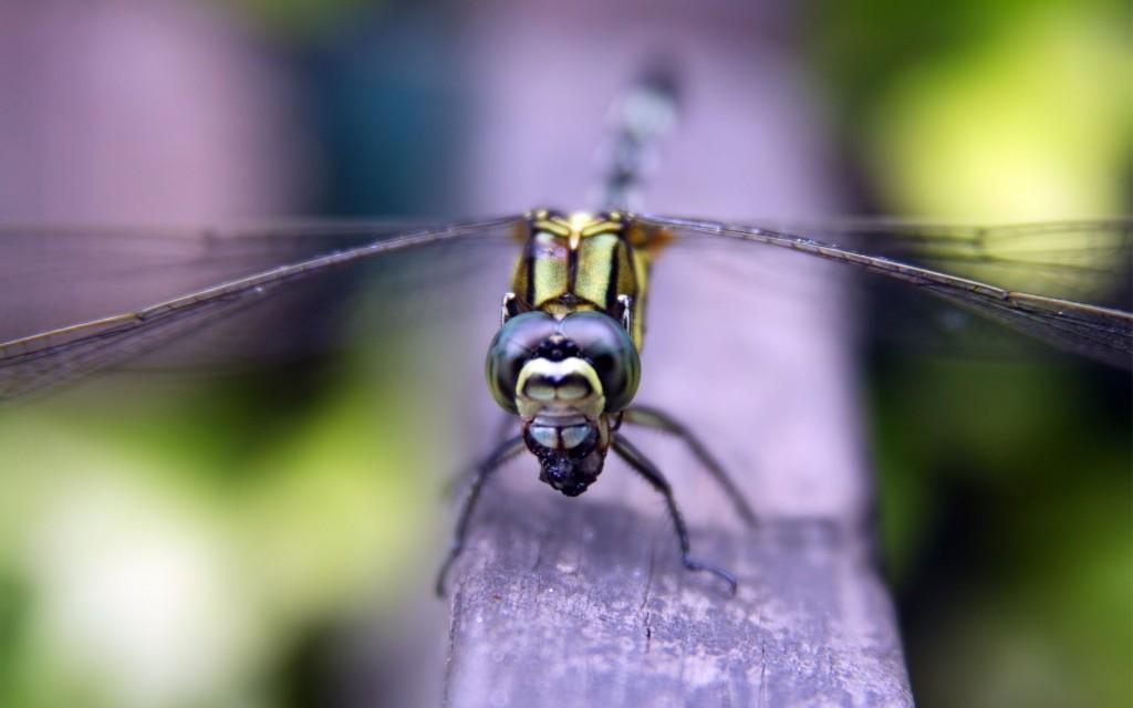 dragonfly-desktop-wallpaper-hd-49535-51210-hd-wallpapers