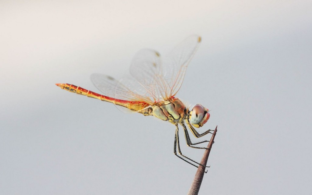 dragonfly-wallpaper-39223-40128-hd-wallpapers