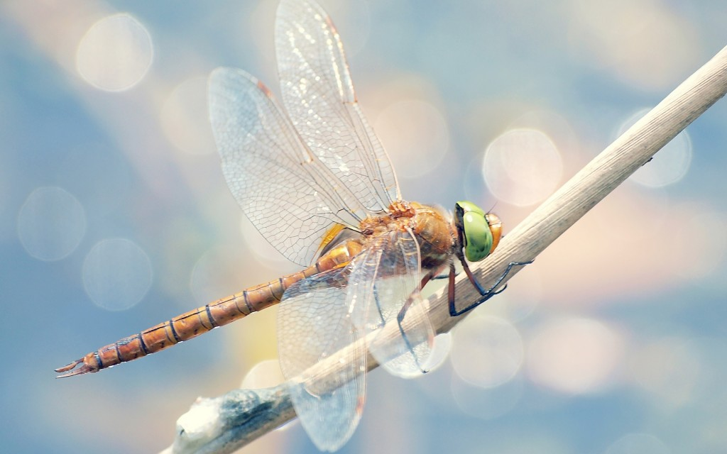 dragonfly-wallpaper-39228-40133-hd-wallpapers