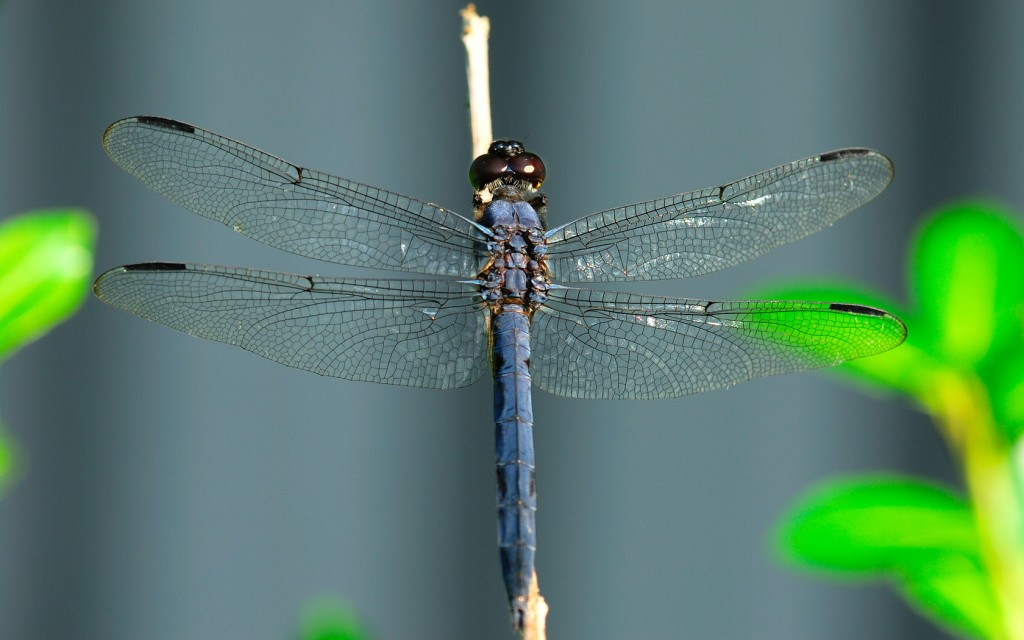 dragonfly-wallpaper-pictures-49549-51224-hd-wallpapers