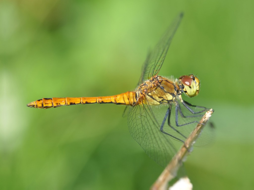 dragonfly-wallpapers-39233-40138-hd-wallpapers