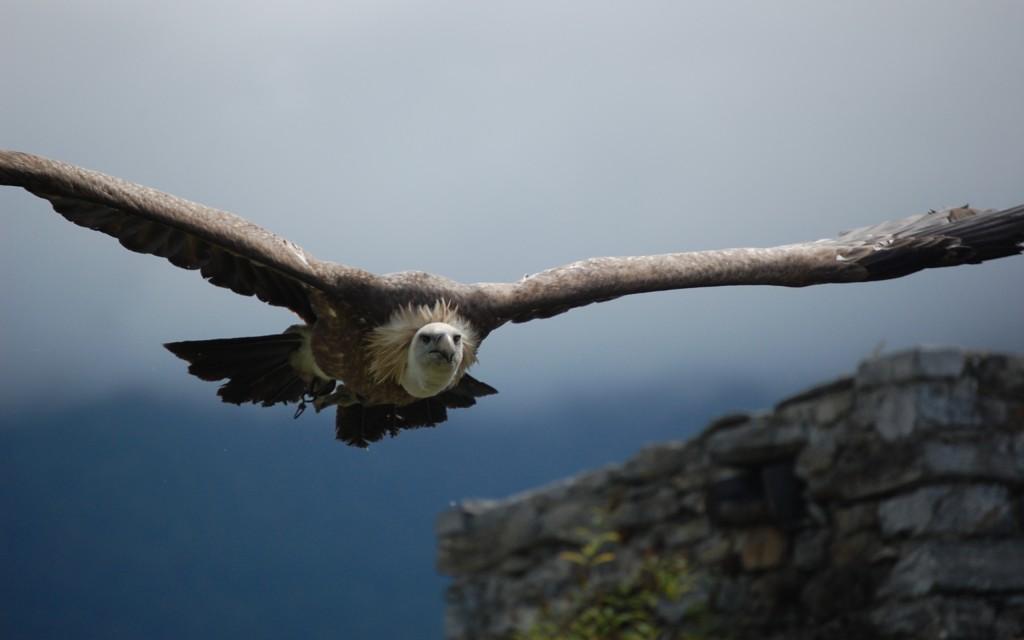 eagle-flying-wide-wallpaper-50056-51743-hd-wallpapers