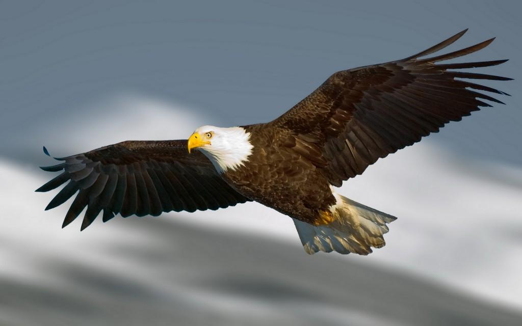 eagle-wallpaper-42007-42997-hd-wallpapers