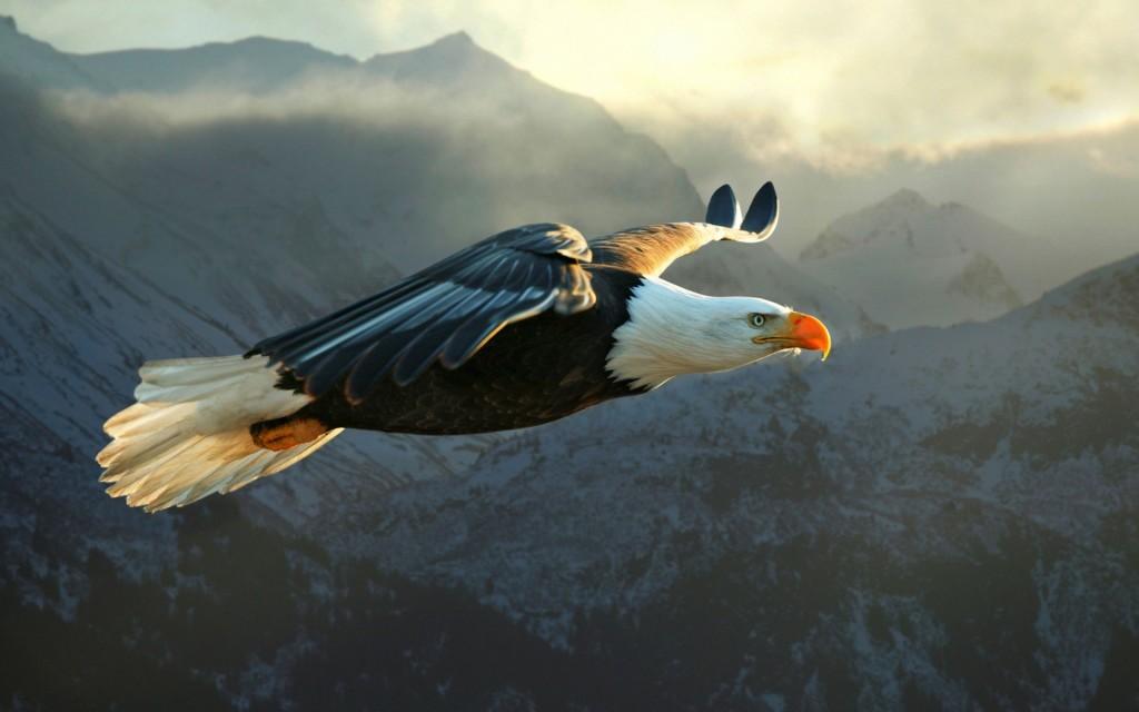 eagle-wallpaper-50057-51744-hd-wallpapers