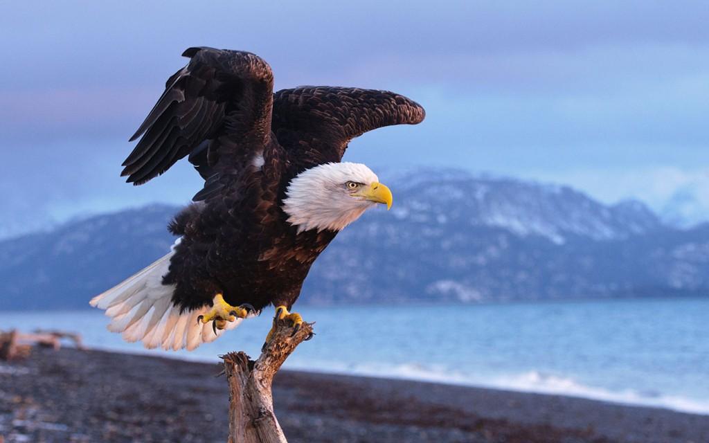 fantastic-eagle-wallpaper-42011-43001-hd-wallpapers