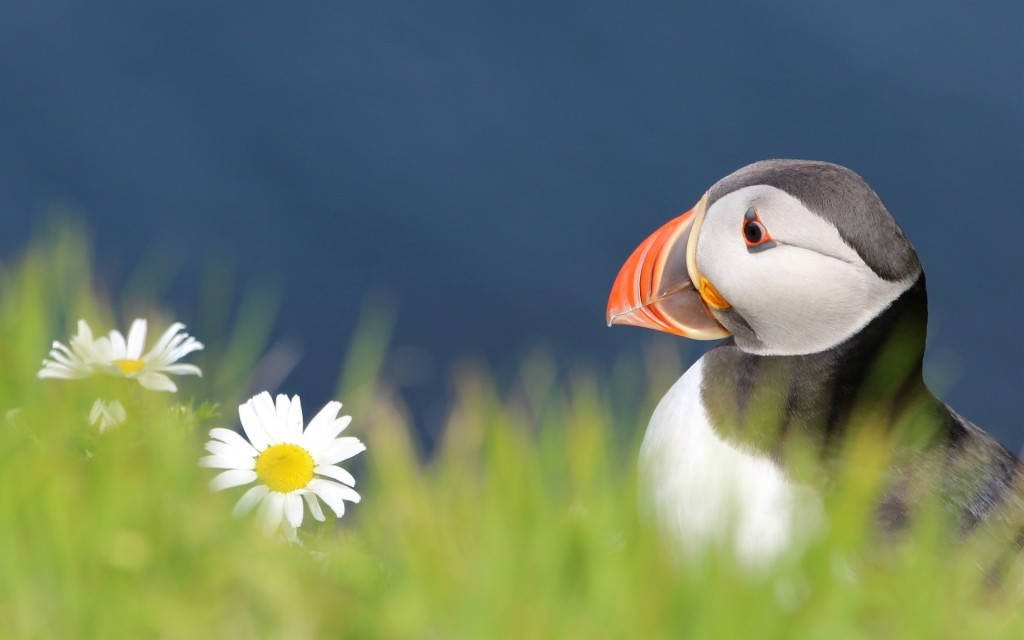free-puffin-wallpaper-24800-25472-hd-wallpapers